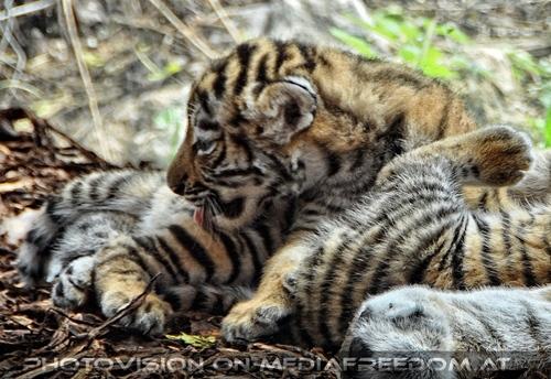 Tiger Babys 07
