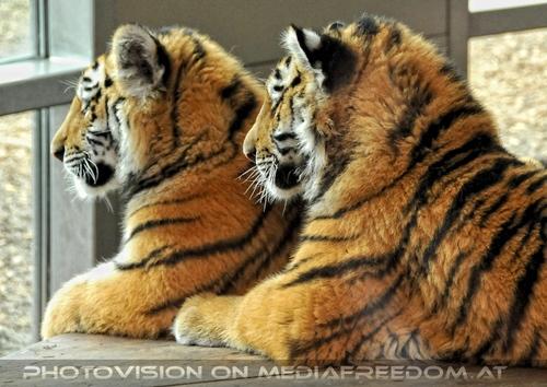 Tiger Paar 1
