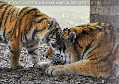 Tiger Paar 3