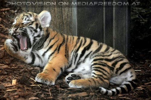 Tigerbaby gähnt