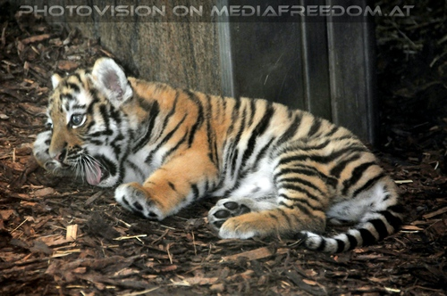 Tigerbaby schreit