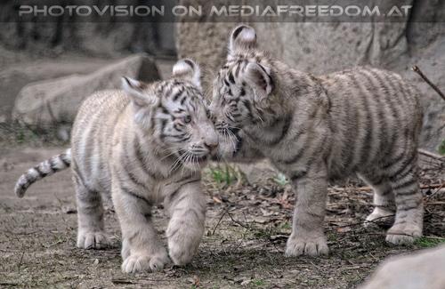 Weiße Tiger Kindergarten 29