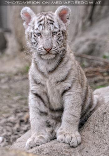 Weiße Tiger Kindergarten 30