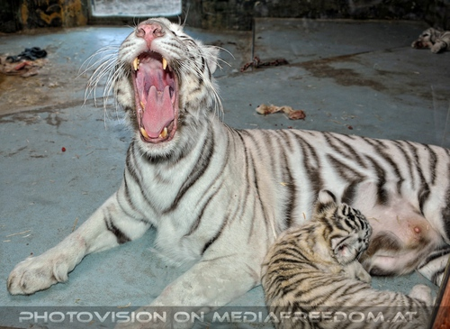 White Tiger Family 33