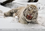 Kinderstube der weißen Tiger Drillinge 04
