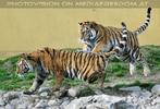 Hab den Tiger
