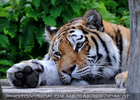 Sibirischer Tiger 1