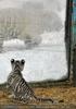 Kinderstube der weißen Tiger Drillinge 28