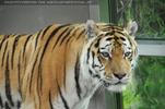 Tiger zu Haus