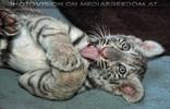 Weißer Tiger Nachwuchs 23
