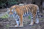 Sibirische Tiger 04