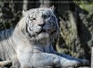 White Tiger Family 01
