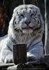 White Tiger Family 04