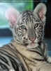 Weißer Tiger Nachwuchs 26