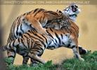 Sibirische Tiger 05