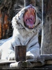 White Tiger Family 03