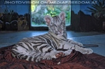 Weißer Tiger Nachwuchs 28