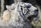 White Tiger Family 02