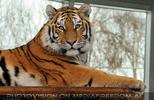 Tiger sieht nach mir
