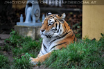 Sibirische Tiger 02