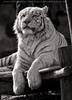White Tiger Family 13