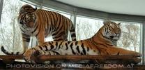2 Tiger erhaben
