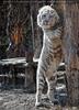 White Tiger Family 15