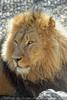 Afrikanische Löwen 01