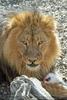 Afrikanische Löwen 02