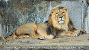 Afrikanische Löwen 05
