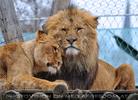Afrikanische Löwen 06