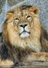 Afrikanische Löwen 07