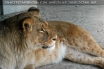 Afrikanische Löwen 1