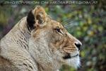 Afrikanische Löwen 11