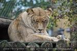 Afrikanische Löwen 14