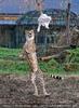 Geparden Fütterung im Lauf 03