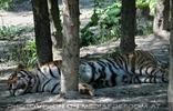 Dösender Tiger