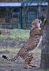 Gepard 5