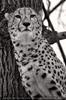 Gepard 8