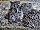 Geparden 2