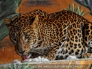 Jaguar Mama