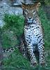 Leoparden 02