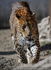 Leoparden Gang