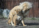 Löwen 03
