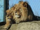 Löwen am Rastplatz