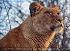 Löwin 2