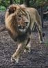 Löwe im Sprint