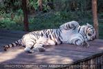 Schlafender weisser Tiger