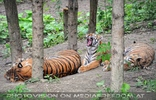 Sibirische Tiger 2