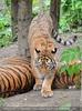 Sibirische Tiger 3